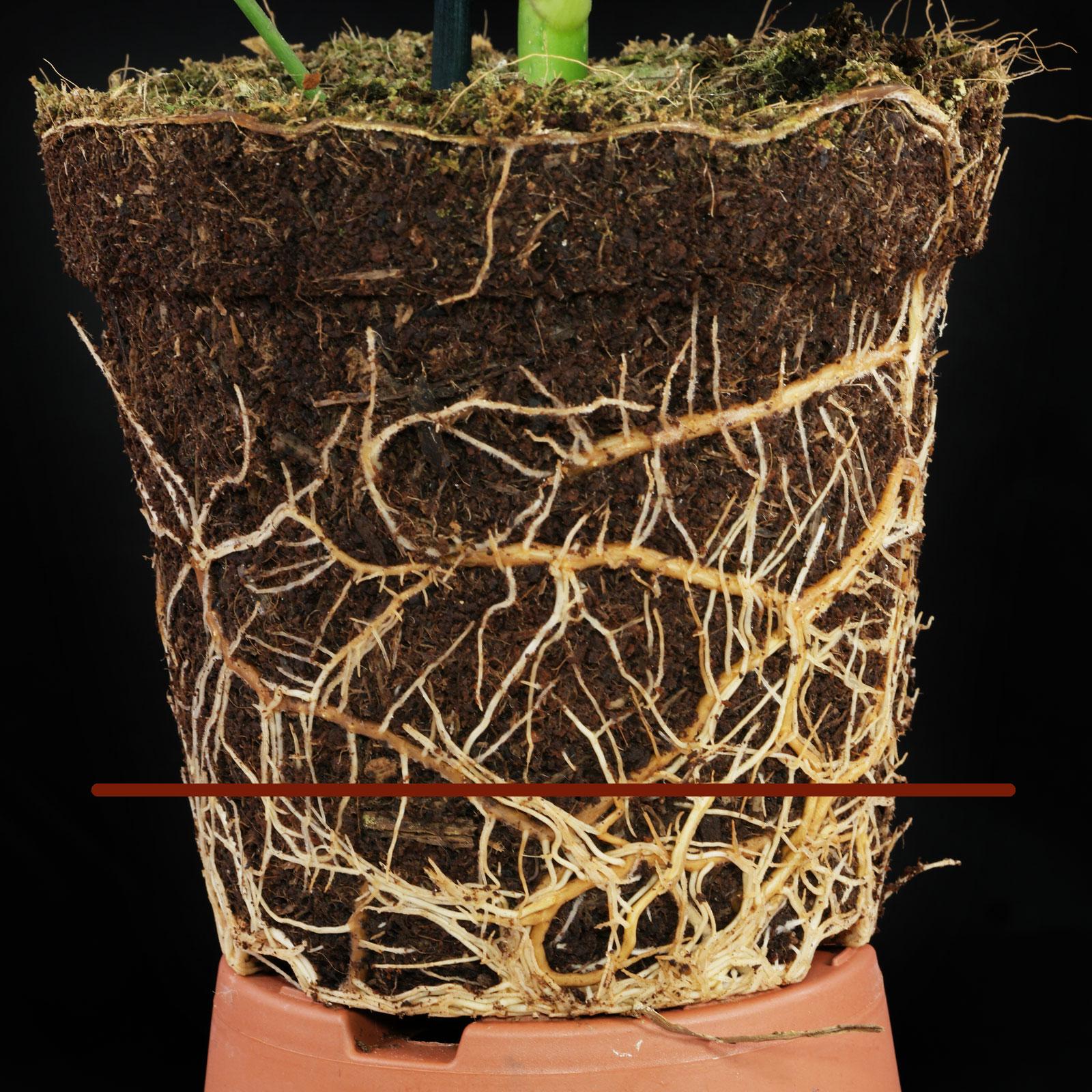 Schefflera Wurzeln